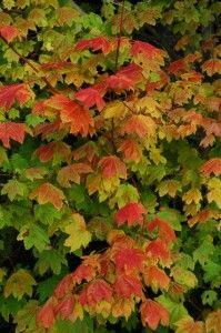 Plant Profile Vine Maple Acer Circinatum Wnps Blog Botanical