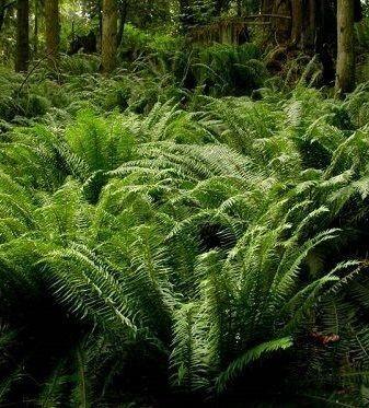 Reasons To Love Sword Ferns Wnps Blog Botanical Rambles